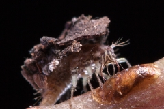 Crisopa carga-basura Ceraeochrysa sp (Foto: Alan Roy Bahamonde)