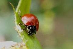 Catarinita roja Cycloneda sanguinea (Foto: Soledad Quipildor)