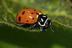Catarninita anaranjada Hippodamia convergens (Foto: Gustavo Fernando Durán)