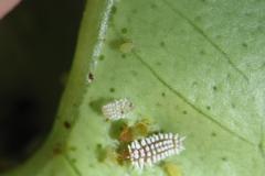 Larva de catarinita café devorando pulgones Scymnus sp (Foto de A. Urbaneja)