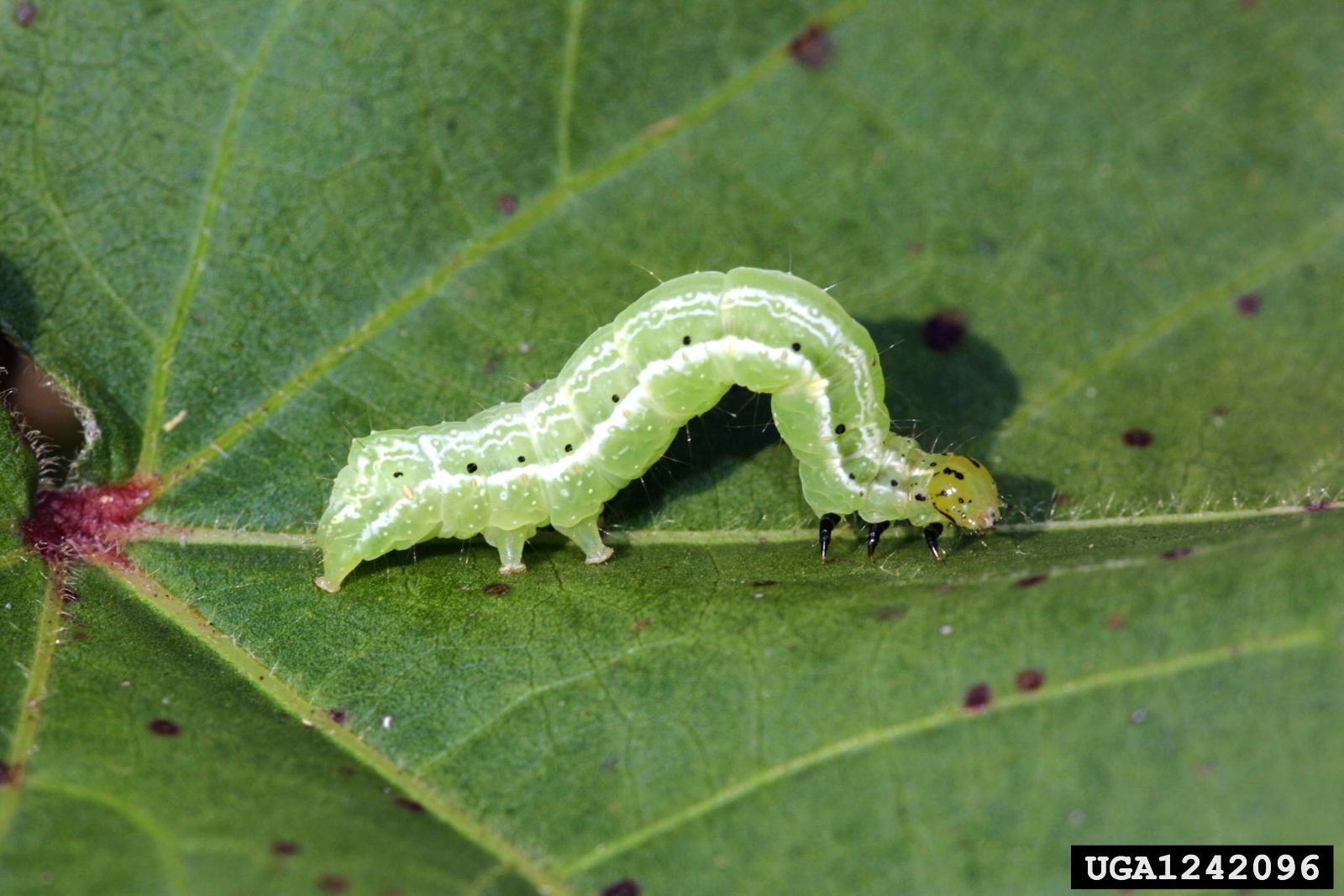 Larva de gusano falso medidor Pseudoplusia includens (Russ Ottens, University of Georgia, Bugwood.org)