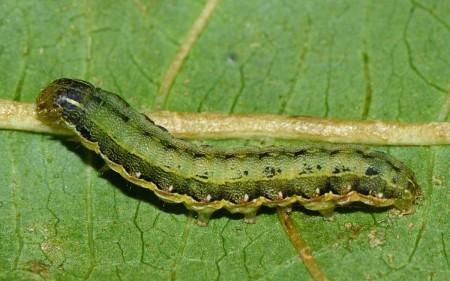 Larva de gusano soldado