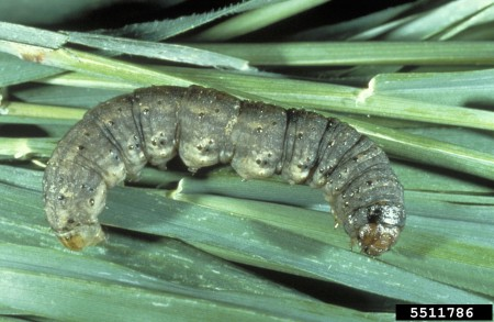 Larva de gusano trozador (John Capinera, University of Florida, Bugwood.org)