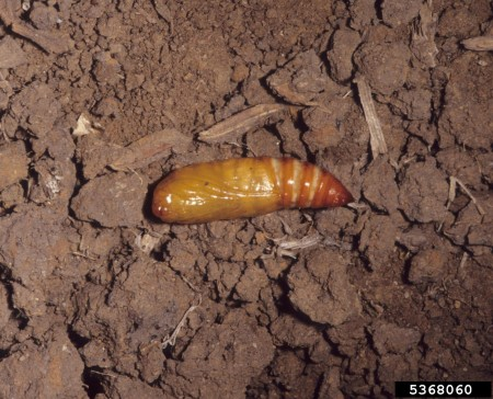 Gusano trozador (Agrotis ipsilon) - Pupa/Créditos: Merle Shepard, Gerald R.Carner, and P.A.C Ooi, Insects and their Natural Enemies Associated with Vegetables and Soybean in Southeast Asia, Bugwood.org