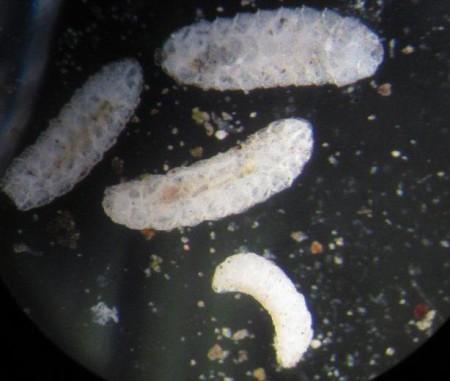 Mosquita midge ó mosquita del sorgo (Contarinia sorghicola) - Larvas