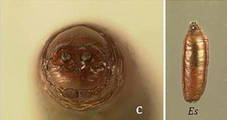 Mosquita pinta (Euxesta stigmatias) - Pupa: vista posterior (izquierda) y vista lateral (derecha).