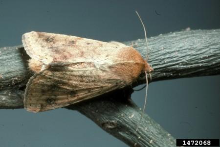 Gusano elotero, bellotero, del fruto o de la cápsula (Heliothis zea) - Adulto/Créditos: Sturgis McKeever, Georgia Southern University, Bugwood.org