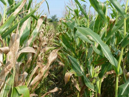 Tizón de la hoja (Helminthosporium turcicum) - Daño en plantas de maíz