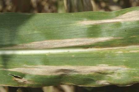 Tizón de la hoja (Helminthosporium turcicum) - Síntomas en hoja de maíz