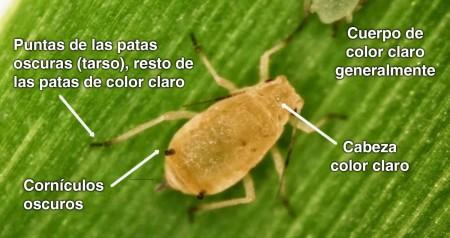 Pulgón amarillo del sorgo (Melanaphis sacchari) - Guía para identificación