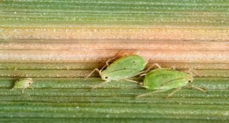 Pulgón del follaje (Schizaphis graminum) - Ninfa y adultos/Créditos: Kent Loeffler - USDA-ARS image# D2458-1.jpg