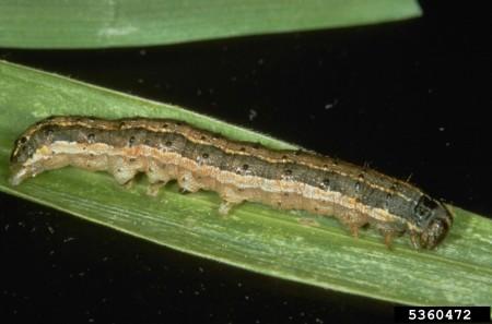 Larva de gusano cogollero (Frank Peairs, Colorado State University, Bugwood.org)