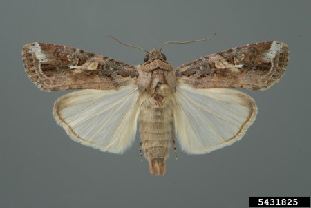 Gusano cogollero (Spodoptera frugiperda) - Adulto/Créditos: Lyle Buss, University of Florida, Bugwood.org