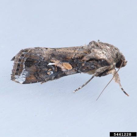 Gusano cogollero (Spodoptera frugiperda) - Adulto/Créditos: Mark Dreiling, Retired, Bugwood.org