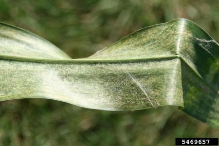 Araña roja (Tetranychus urticae) - Síntomas en hoja de maíz/Créditos: Daren Mueller, Iowa State University, Bugwood.org
