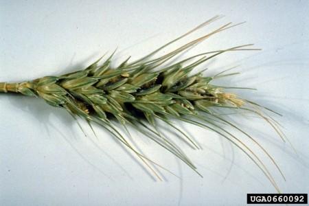 Carbón parcial (Tilletia (Neovossia) indica) - Daño en espiga de trigo/Créditos: Ruben Durán, Washington State University, Bugwood.org