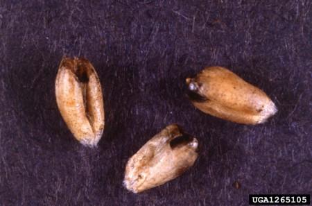 Carbón parcial (Tilletia (Neovossia) indica) - Signos en granos de trigo/Créditos: Lisa Castlebury, USDA Agricultural Research Service, Bugwood.org
