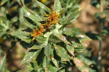 Tizón del follaje (Alternaria carthami) - Planta de cártamo con signos de la enfermedad