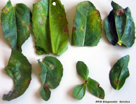 Falsa cenicilla (Ramularia carthami) - Hojas disectadas de cártamo con signos de la enfermedad/Créditos: PPIS Plant Protection Diagnostic Service, Israel