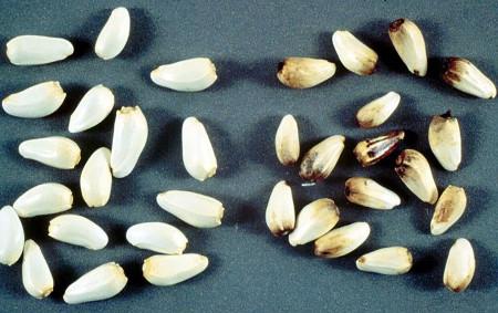 Tizón del follaje (Alternaria carthami) - Semillas sanas (izquierda) y semillas de cártamo con signos de la enfermedad (derecha)