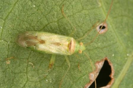Chinche rápida (Creontiades spp) - Adulto