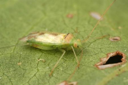 Chinche rápida (Creontiades dilutus)