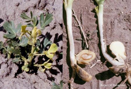 Rabia del garbanzo (Fusarium oxysporum F.sp. ciceri, Rhizoctonia solani, Macrophomina phaseolina, Sclerotium rolfsii) - Planta pequeña (izquierda) y semilla germinada (derecha) con signos de la enfermedad/Créditos: Robert M Harvenston