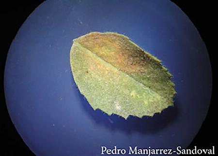 Mildiú velloso (Peronospora ciceris) - Signos en hoja de garbanzo/Créditos: Pedro Manjarrez-Sandoval