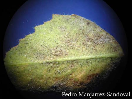 Garbanzo - Peronospora sp