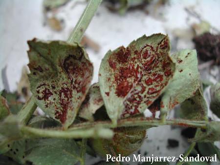 Roya (Uromyces ciceris-arietini) - Pústulas rojizas en hojas de garbanzo, signo de la enfermedad/Créditos: Pedro Manjarrez-Sandoval