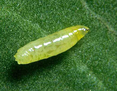 Minador de la hoja (Liriomyza sp) - Larva