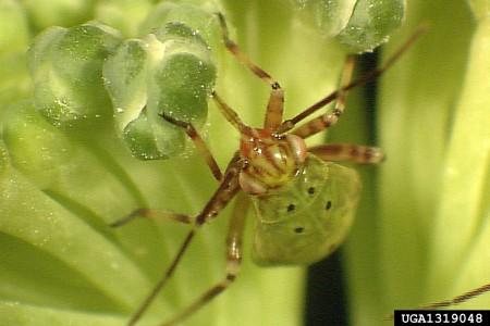 Chinche Lygus (Lygus lineolaris) - Ninfa de chinche Lygus/Créditos: Allen Cohen, USDA Agricultural Research Service, Bugwood.org