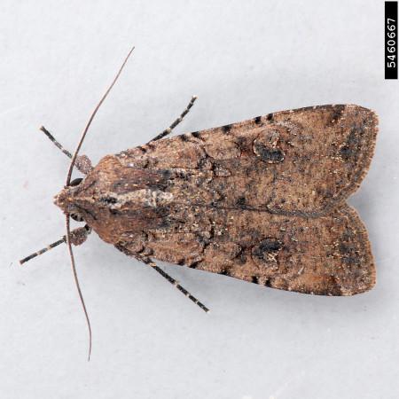 Gusano trozador (Peridroma saucia) - Adulto/Créditos: Mark Dreiling, Retired, Bugwood.org