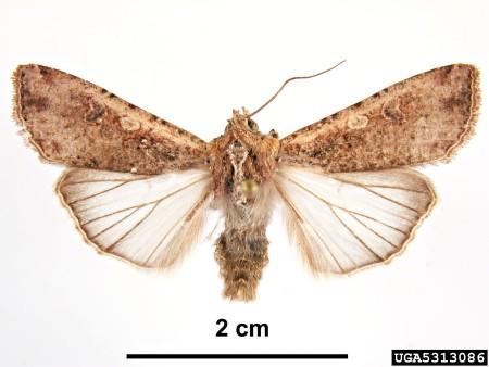 Gusano trozador (Peridroma saucia) - Adulto, imagen de colección entomológica/Créditos: Pest and Diseases Image Library, Bugwood.org