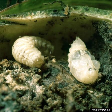 Picudo del algodonero (Anthonomus grandis) - Larva y pupa/Créditos: Clemson University - USDA Cooperative Extension Slide Series, Bugwood.org