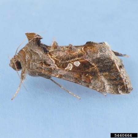 Gusano falso medidor (Pseudoplusia includens) - Adulto/Créditos: Mark Dreiling, Retired, Bugwood.org