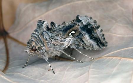 Gusano falso medidor (Trichoplusia ni) - Adulto/Créditos: Joseph Berger, Bugwood.org
