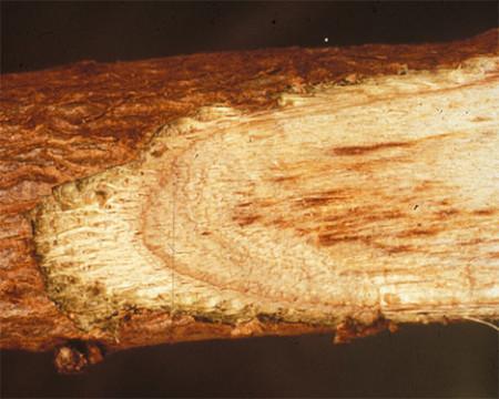 Marchitez por verticillium (Verticillium dahliae) - Decoloración moteada del tejido vascular