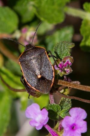 Conchuela (Chlorochroa ligata) - Adulto/Créditos: Woody Hollow, Austin, Travis Co, Texas