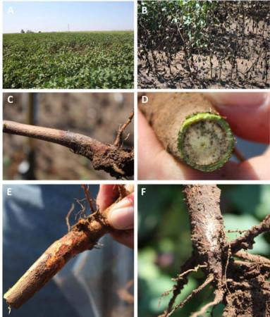 Pudrición texana (Phymatotrichopsis omnivora (=Phymatotrichum omnivorum)) - Diferentes aspectos de la enfermedad