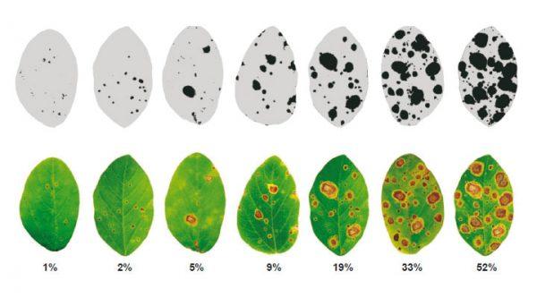 Pudrición de vainas o mancha anillada (Corynespora cassiicola) - Diferentes grados de severidad en hojas