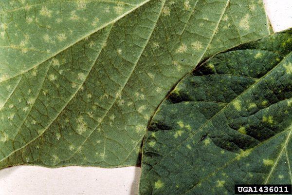 Mildiú (Peronospora manshurica) - Síntomas de Peronospora manshurica en haz y envés de hoja de soya/Créditos: Clemson University - USDA Cooperative Extension Slide Series, Bugwood.org