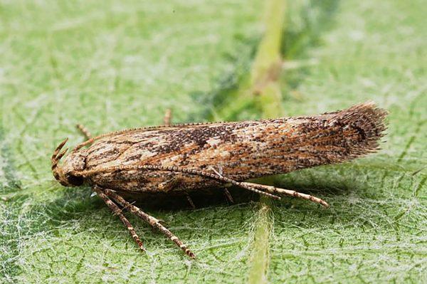 Palomilla de la papa (Phthorimaea operculella) - Adulto