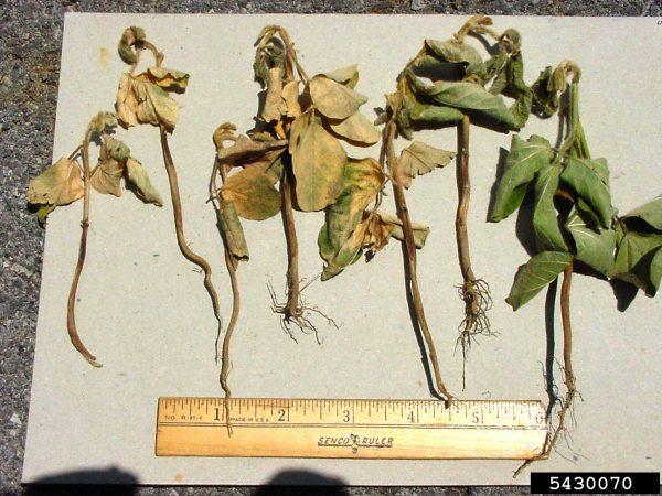 Pudrición carbonosa (Macrophomina phaseolina) - Plantas jóvenes infectadas/Créditos: Paul Bachi, University of Kentucky Research and Education Center, Bugwood.org