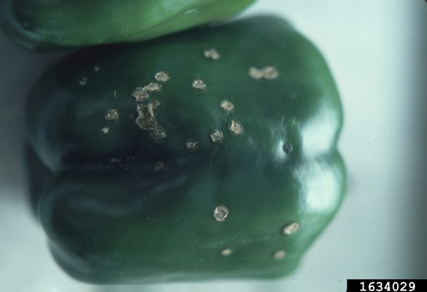 Mancha bacteriana (Xanthomonas vesicatoria) - Daño en fruto de pimiento  /  Créditos: Penn State Department of Plant Pathology & Environmental Microbiology Archives, Penn State University, Bugwood.org