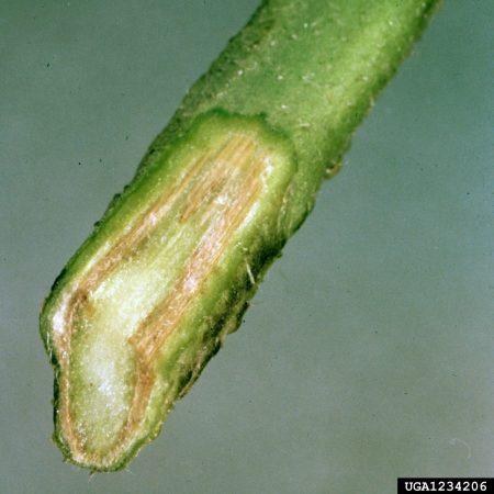 Secadera de plántulas o damping-off en tomate (Pythium spp, Rhizoctonia solani, Phytophthora sp, Fusarium sp, Alternaria sp) - Daño en tejidos de plántulas de tomate/Créditos: Clemson University - USDA Cooperative Extension Slide Series, Bugwood.org