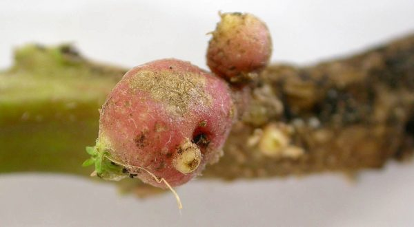 Roña común de la papa (Streptomyces scabies) - Daño en brotes de tubérculos