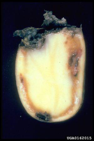 Marchitez bacteriana de la papa (Ralstonia solanacearum) - Decoloración y tejidos necróticos por pudrición secundaria/Créditos: National Plant Protection Organization, the Netherlands , Bugwood.org