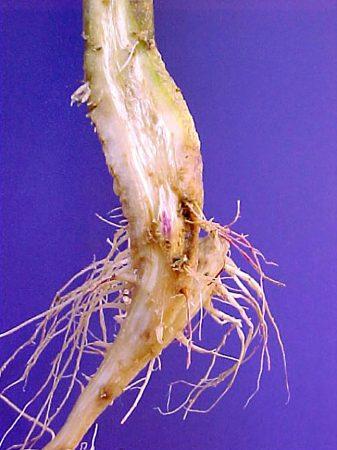 Secadera en tomatillo (Fusarium spp, Rhizoctonia solani, Pythium sp, Macrophomina phaseolina, Sclerotium rolfsii) - Planta de tomatillo con necrosis en el cuello y raíces
