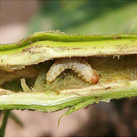 Picudo o barrenador del tomatillo (Trichobaris mucorea) - Larva dentro de tallo barrenado
